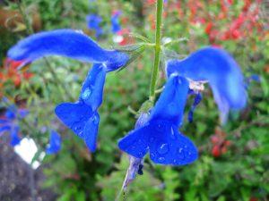 Salvia patens. Irresistible blue!