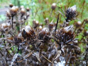 Carlina vulgaris / Golddistel