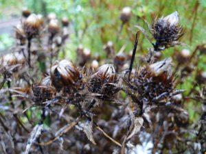 Carlina vulgaris / Golddistel