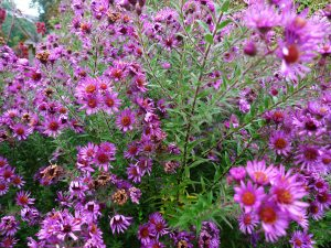 Aster novae-angliae / Hohe Herbstaster