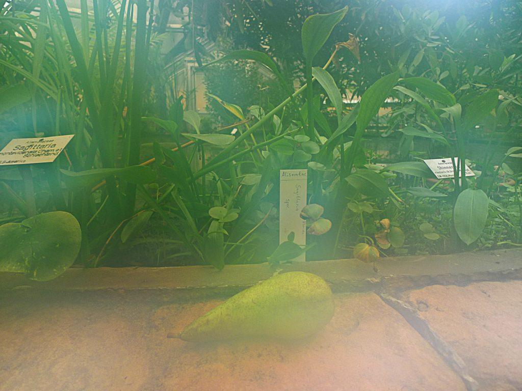 Botanic Pear