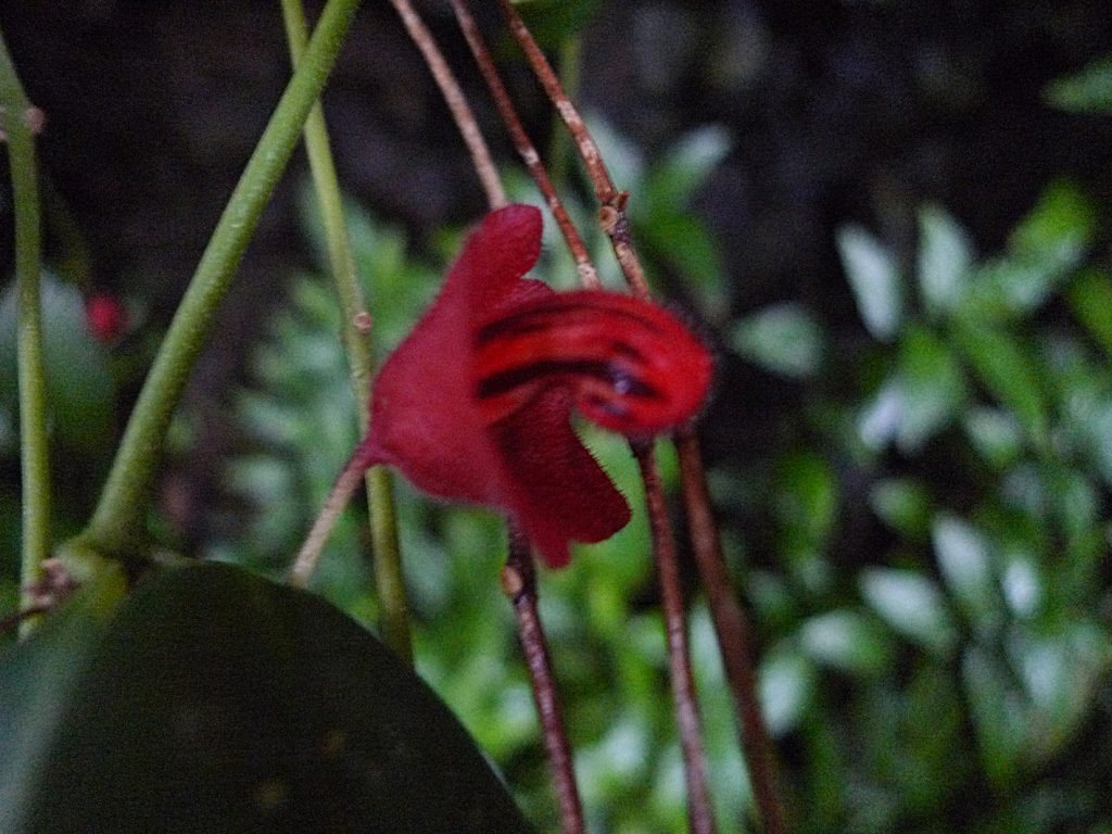 Nose-shaped Borneo flower / Aeschynantus tricolor